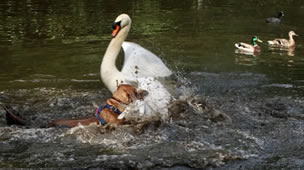 Swan Attacked By Out-Of-Control Dog In Wimbledon